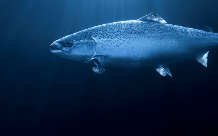 True Arctic Salmon